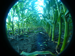 P2010045 () Tags: show friends house silly green love home field goofy amusement illinois corn fisheye filter together crop passion goofballs forever westsidestory wss cyt huntleyillinois christianyouththeatre