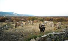 Moooouuuuuu! (cristianocani) Tags: sardegna italia animali fattoria borore provinciadinuoro