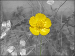 Buttercup. (Tasmin_Bahia) Tags: flowers summer blackandwhite plant flower colour detail macro green nature grass leaves yellow garden outside grey blackwhite leaf petals soft pretty natural bright buttercup framed peaceful fresh yellowflower patio frame delicate simple magical fragile yellowflowers buttercups brightcolours thegarden nocolour unlimitedphotos tasminbahia