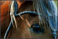 Caballo :Atardece en sus ojos... (-Ana Lía-) Tags: luz argentina atardecer caballos nikon ojos invierno salto frío mardelplata riendas bozal galope crines camet aprehendiz