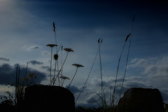 lightscape... (Nogliki771) Tags: summer nature grass silhouette clouds weeds nikon bluesky explore grasses wildflowers nkon lightscapes ornamentalgrasses d80 weedflower wildgrasses skycloudssun oursky naturethroughthelens