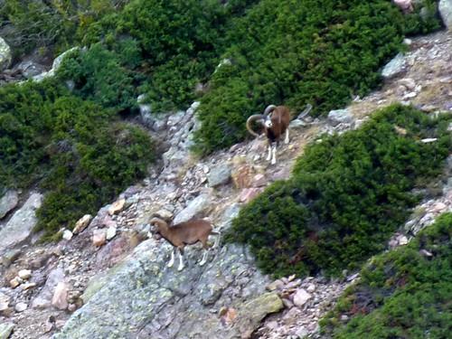 Andade a u Ponte : deux beaux mouflons mâles en versant Scaffone