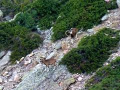 Depuis la vire Andade a u Ponte: deux beaux mouflons mâles en versant Scaffone