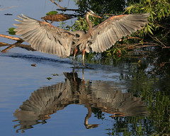 Great Blue Heron wings spread and reflection Linda's Photograph (kevansunderland) Tags: heron birds birdsinflight evergladesnationalpark blueheron greatblueheron royalpalm wadingbird birdphotography floridabirds anhingatrail