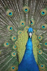 Peter the Bilton Peacock, Harrogate (jillyspoon) Tags: blue bird fan eyes indian feathers peacock explore peter novelty harrogate peafowl bluegreen bilton greenblue quills flickrduel canon450d niftytwofifty