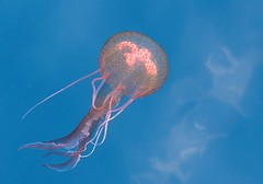 Help ID... Medusa ao largo de Peniche... (Rosa Gamboias/ on vacation) Tags: sea naturaleza portugal nature water animals gua mar jellyfish natureza sealife medusa biologia peniche aquaticlife relevos helpid seresmarinhos vidaaqutica