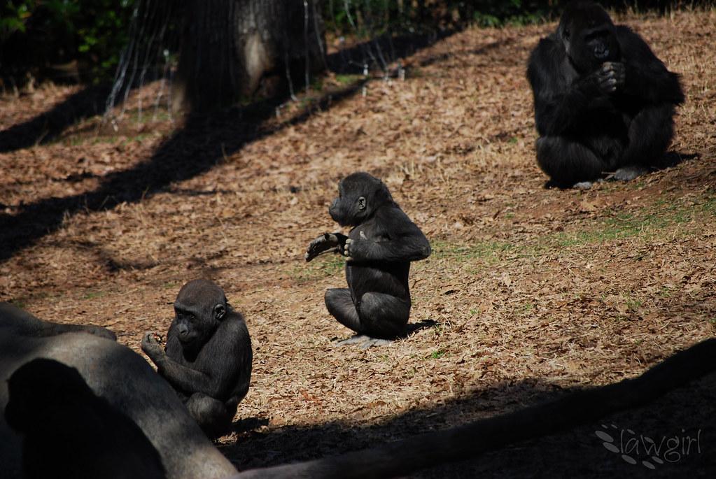 SS_Baby_Gorilla[2009]