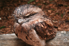 tawnyfrogmouth1 (jennicat5) Tags: birds animals holidays places resized wildanimals tawnyfrogmouths portmacqaurie billabongnaturepark