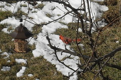 Cardinal with snow (jesusfreakfan77) Tags: red snow bird cardinal feeder striking flaming
