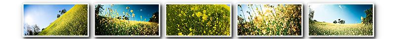mustard 2-000001