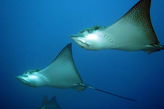 Eagleray (blichb) Tags: fish ray underwater scuba fisch galapagos eagleray tauchen unterwasser potofgold rochen adlerrochen iful specanimal abigfave platinumheartaward orcadivers fabbow blichb