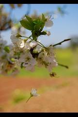 dancing with myself ((flicts)) Tags: white flower tree primavera portugal spring nikon blossom alentejo d60 flicts ritamoreno