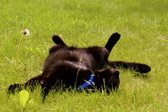 Piddle, sunbathing (mrlee_1979) Tags: blue sleeping summer black grass animal cat garden spring lazy lounging soe gree sunbathing piddle blueribbonwinner otw goldstaraward dragondaggerphot