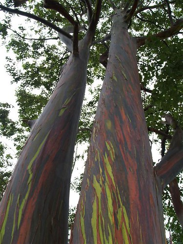 photo Rainbow Eucalyptus