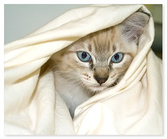 She took bath... (Fernando Felix) Tags: portrait pet cats cute topf25 face look cat poser kitten funny sweet tabby kitty kittens gato gata tabbies graceful gatto gatti iso1600 gatinho gatinhos cowcat firstquality 50faves theperfectphotographer