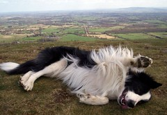 Happy Furry Friday! (meg price) Tags: collie border wave malvern bordercollie barney rollover golddragon anawesomeshot theperfectphotographer goldstaraward rubyphotographer
