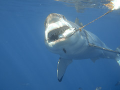 Great White Shark Attacks the Bait (George Probst) Tags: shark underwater teeth attack scuba jaws guadalupe tuna greatwhiteshark greatwhite whitepointer cagediving isladeguadalupe