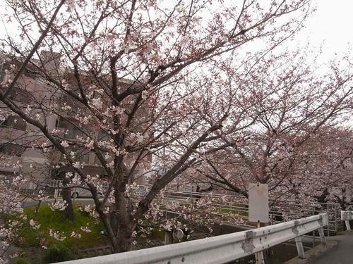 09-04-01【桜】@大和高田-05