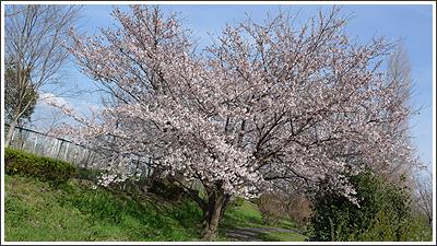 地元の桜も咲いていました