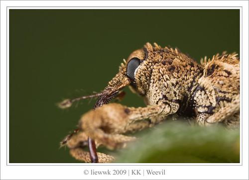 2.23 Weevil