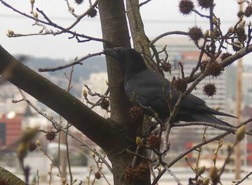 DSC_77_crow_twig