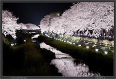 Tokyo Chofu Nogawa Sakura Light Up