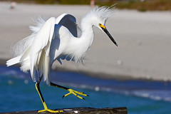 Snowy Egret Dancing (Lara[P]) Tags: venice usa white bird florida beak feathers 1001nights soe snowyegret whitebird yellowfeet yellowbeak cannoneos40d