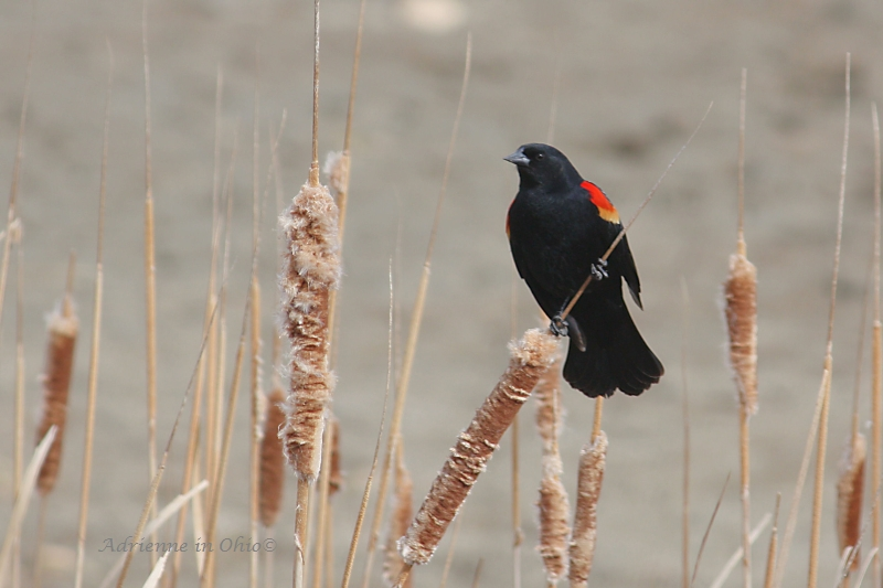 red-winged blackbird on cattail photo by Adrienne in Ohio