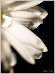 Defying Gravity! (iTail ~ Steve Page) Tags: lighting white black flower yellow waterdrop flickr bokeh award petal droplet soe cubism itail fantasticflower theunforgettablepictures goldstaraward 100commentgroup