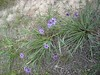 Blue-eyed grass its called, a nat…