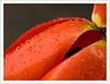 raindrops on a red tulip (Andrea Rapisarda) Tags: red yellow tulip raindrops pioggia tulipano gocce straightfrommycamera olympuse510 fotoemozionare goldstaraward rapis60 andrearapisarda vosplusbellesphotos paololivornosfriends cffaa