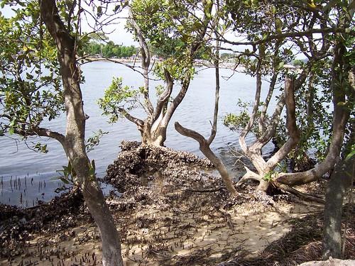 Mangroves, Pelican Island Woy Woy
