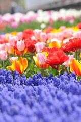 20090410 Tulip 15 (BONGURI) Tags: flower spring nikon tulip   gifu   d300 kaizu   kisosansenpark