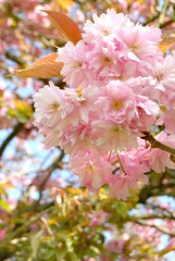 Impossible to tell in writing. Basho he named himself, (crecre) Tags: pink flowers ireland colour tree cherry spring cork blossoms sunny cherryblossoms basho pinsky