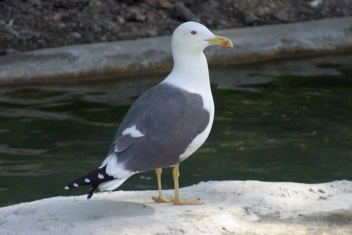 Lesser Black-backed Gull by you.