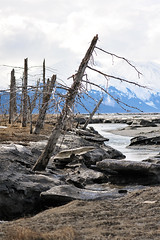 1815 (Tony Rowlett) Tags: mountains ice alaska stream tony rowlett turnagainarm deadtrees 10528 d700 nikond700 tonyrowlett