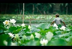 Hue's lotus season is back! (Vu Pham in Vietnam) Tags: yellow landscape landscapes movement asia southeastasia vietnamese lotus bokeh candid vietnam dailylife hue vu canoneosdigitalrebelxt indochina hu  vitnam hu phongcnh  hoasen  huecity lotusf ini c thurathienhue kinh raininvietnam thnhhu commentwithimageswillbedeletedsosorryforthis