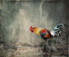 little red rooster (JuttaMK) Tags: park india central nat jungle rooster fowl tms kanha tellmeastory artlibre infinestyle texbyleschick mauekay