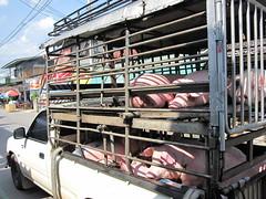IMG_0325 (@nn) Tags: thailand pig ปาย เมืองไทย หมู