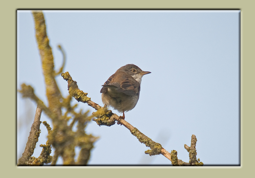 Sunday Whitethroat