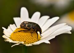 Glycyphana fulvistemma,  (aeschylus18917) Tags: macro nature japan insect nikon beetle  saitama nikkor chafer scarab saitamaken coleoptera koma 105mm insecta   105mmf28 scarabaeidae  105mmf28gvrmicro saitamaprefecture cetoniinae d700 flowerchafer nikkor105mmf28gvrmicro   danielruyle aeschylus18917 danruy