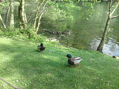Pottering ducks