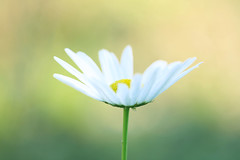 Under the morning light (**Mei**) Tags: white flower macro beautiful spring colorful bright artistic bokeh naturallight daisy delightful