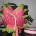 Dragon Fruit by aeromake