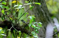 Black throated blue female (Meegs108) Tags: ohio bird lifelist warbler blackthroatedbluewarbler dendroicacaerulescens