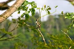 Red-whiskered bulbul (Meegs108) Tags: bird hawaii lifelist oahu bulbul redwhiskeredbulbul pycnonotusjocosus