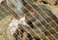 Bardzo brzydkie mapki, bardzo brzydkie (jjkason) Tags: animals sex penis zoo dick dirty monkeys baboon kutas mapi