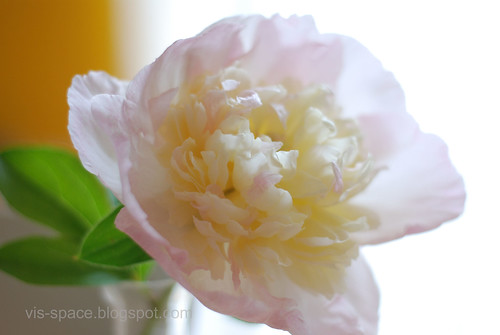 Peonies from the garden 1