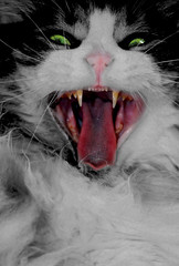 Morning yawn (KittyBitty: Manicured Photos) Tags: bw cat fur yawn kitty fluffy australia melbourne catyawning manicured bwwithcolor kittybitty1 backandwhitewithcolour bestofspecialpetportraits kittybitty kittybittykittybitty manicuredphotos