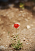 """Poppy"" Love.. (SonOfJordan) Tags: light shadow red blur flower colour texture nature canon eos 50mm alone bokeh amman ground jordan explore f18 popy xsi 450d الاردن samawi sonofjordan shadisamawi المملكةالاردنيةالهاشمية wwwshadisamawicom"